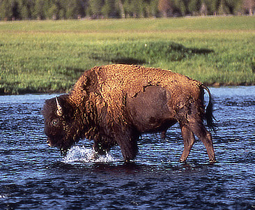 Old bison bull crossing Slough Creek